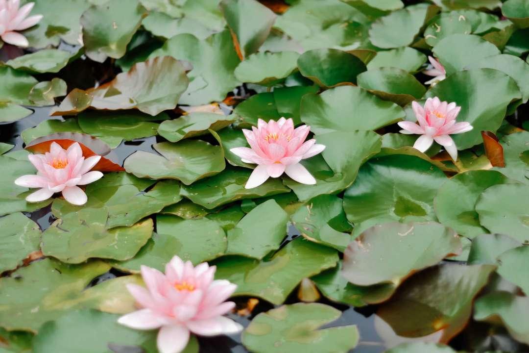Juwel in der Lotusblüte - Lotosblumen